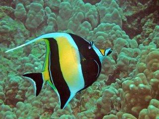 Fantastic fish facts for Moorish idol fish